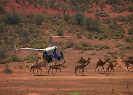 Avustralya'da büyük katliam: 10 bin deveyi 'çok su içiyor' diye infaz etmeye başladılar
