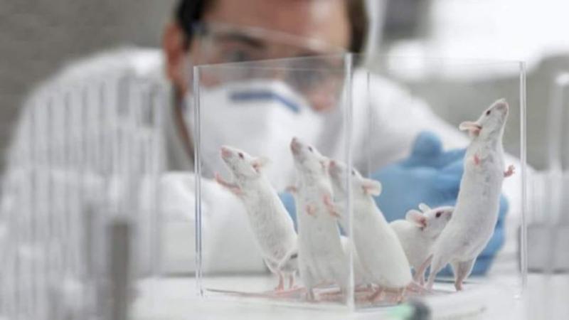 Bilim insanları 250 farenin yaşam süresini uzatmayı başardı.