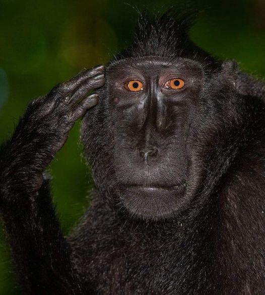Bir köy yakınında çok sayıda maymun yaşıyormuş