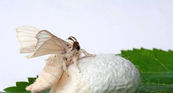 Bir gün adamın biri bir kelebek kozası buldu.