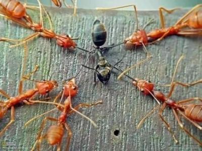 100 siyah karınca ve 100 ateş karıncasını toplayıp bir cam kavanoza koyarsanız hiçbir şey olmaz.