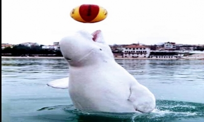 25 Ocak 1992'de Sinop'un Gerze sahilinde ilk kez beyaz bir balina görülür.