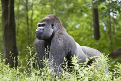 Goriller Vücut Çalışmamasına Rağmen Neden Hep Bu Kadar Kaslılar?