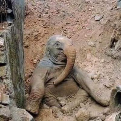 Hindistan'da filleri evcilleştirmek için ilginç bir yöntem kullanılırmış.