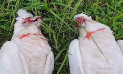 Korku Filmlerini Aratmayan Korkunç Olay: Gökten Çığlıklar İçerisinde Gözleri Kanayan Kuşlar Yağdı