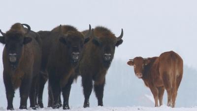 'Özgürlüğüne düşkün' inek çiftlikten kaçıp bizon sürüsüne katıldı